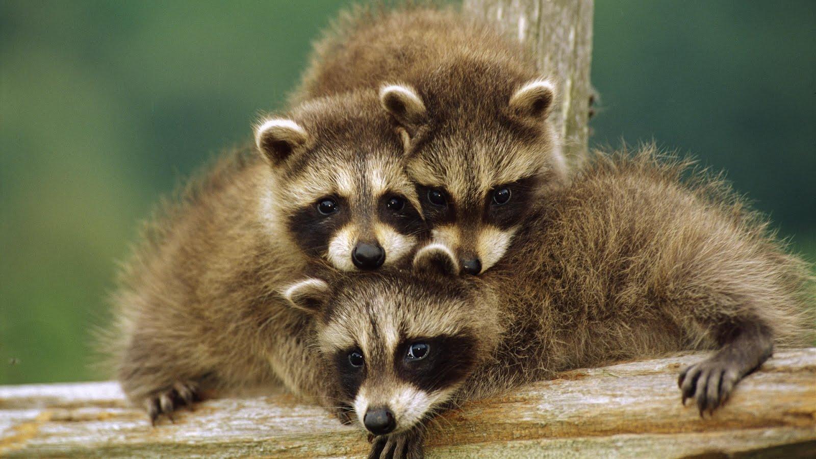 videos-de-mapaches-graciosos